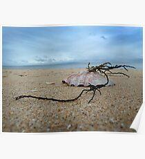 Shell on St. Leonards beach Poster
