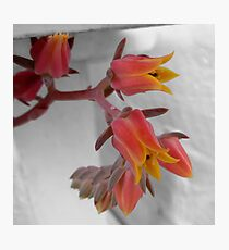 Hen and Chicken plant flower Photographic Print