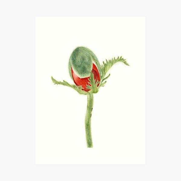 Papaver orientale I Art Print