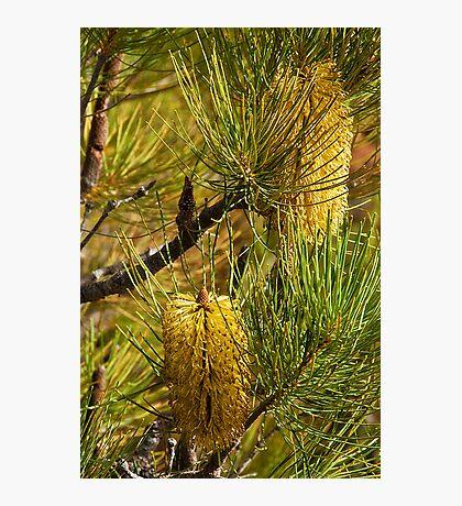 110619 Lesurue National Park Banksia 1 Photographic Print