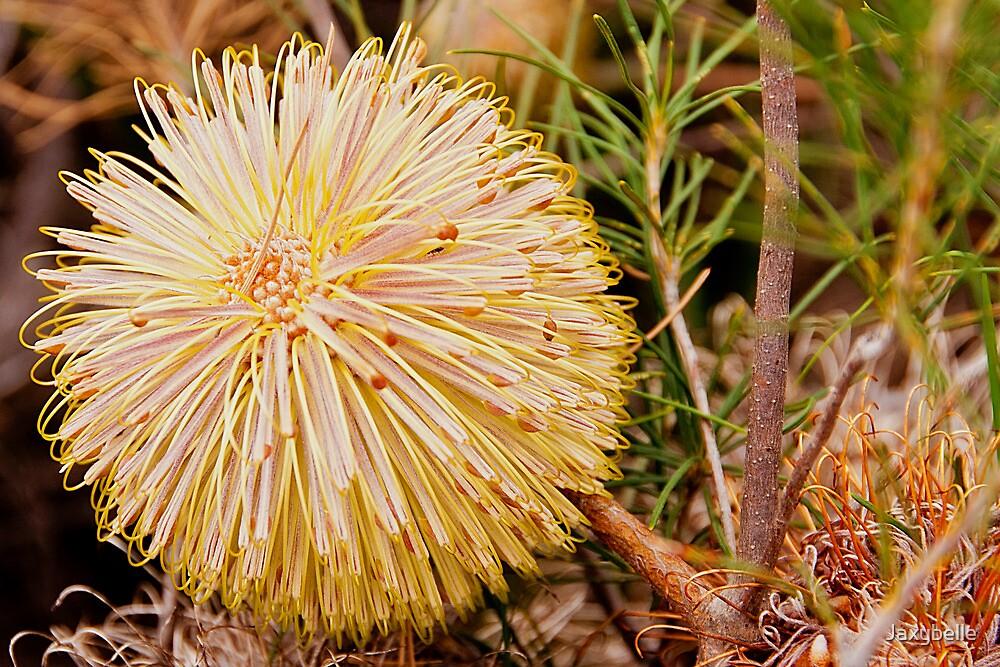 110619 Lesueur National Park Banksia leptophylla by Jaxybelle