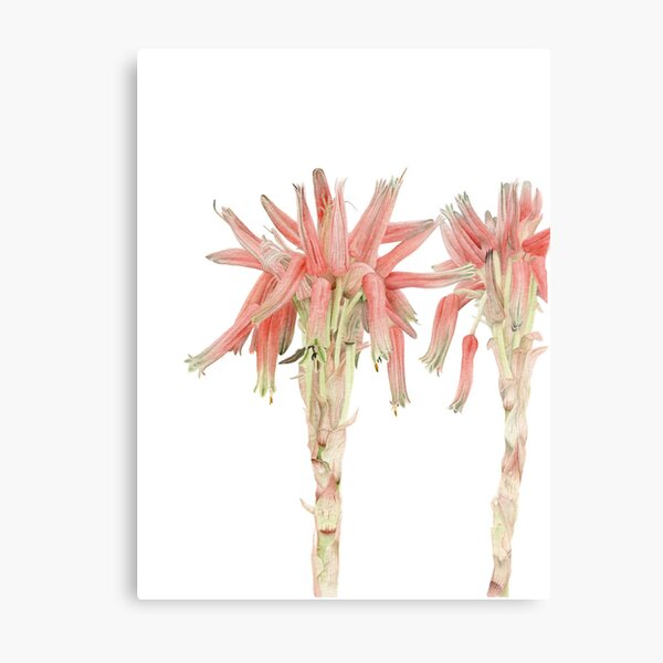 Aloe sp. - the nameless Aloe Metal Print