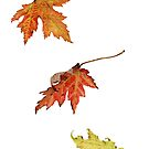 autumn maple leaves by Vanessa Pasqualetto