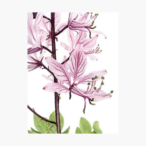 Dictamnus albus Photographic Print