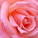 Heart of a Rose by Lynn Bolt
