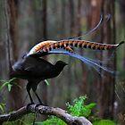 Superb Lyrebird by Donovan Wilson