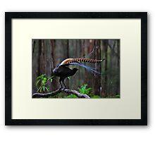 Superb Lyrebird Framed Print