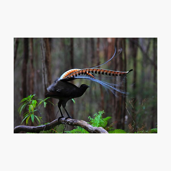 Superb Lyrebird Photographic Print