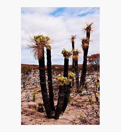 110619 Lesueur National Park Grasstree in flower 2 Photographic Print