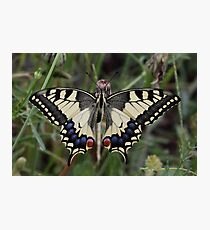 Continental Swallowtail Photographic Print