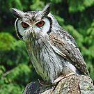 Small Owl  by lynn carter
