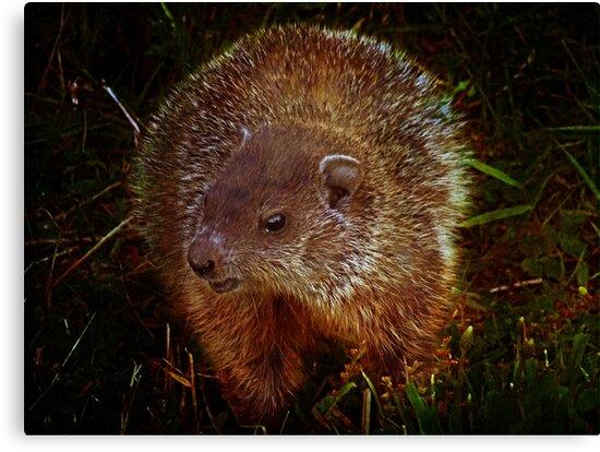 Baby Groundhog by vigor