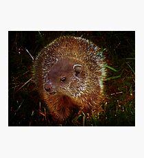 Baby Groundhog Photographic Print