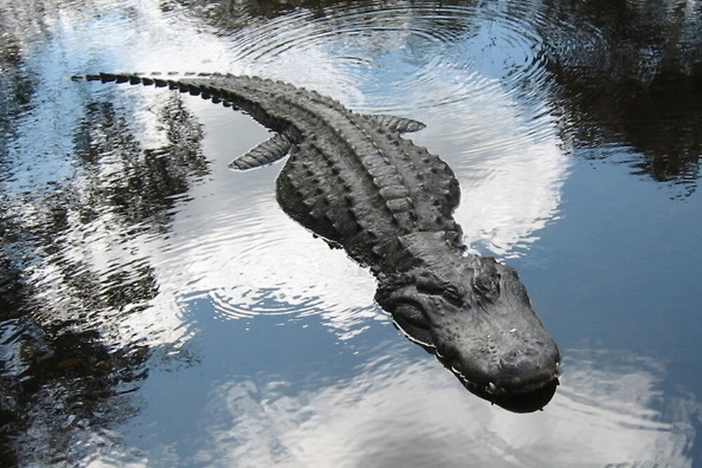 Gator in Homosassa, FL by Debbie Robbins