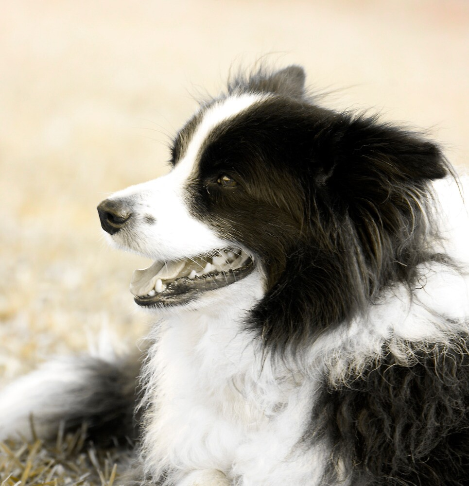 Soccer Dog - border collie by Jenny Dean