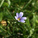 Blue Eyed Grass by LaBud