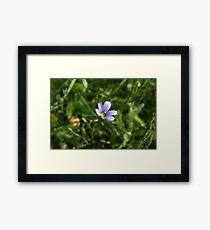 Blue Eyed Grass Framed Print