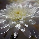 Bokeh chrysanthemum in white by abbycat