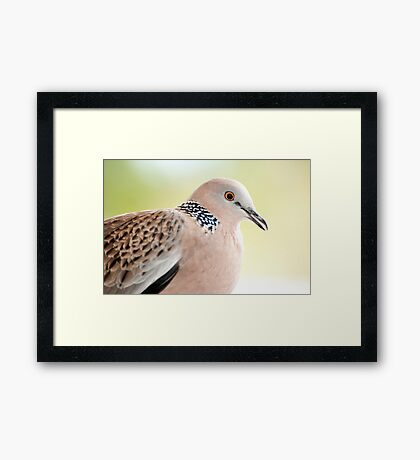Spotted Turtle Dove Framed Print