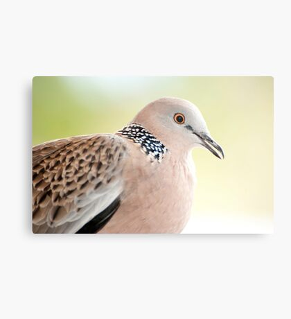 Spotted Turtle Dove Metal Print
