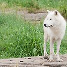 Arctic Wolf by Sean McConnery