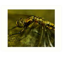 Four-Spotted Chaser Closeup Art Print