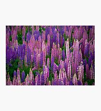 Lupins Lupins Lupins Photographic Print
