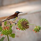Purple-rumped Sunbird by Dilshara Hill
