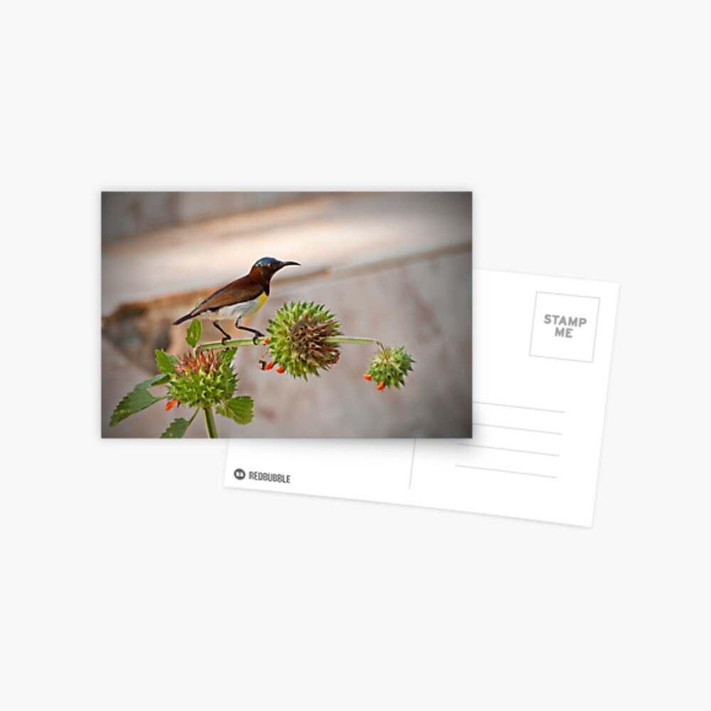 Purple-rumped Sunbird Postcard