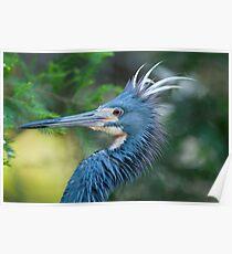 Tri-Color Heron Poster