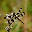 Twelve Spotted Skimmer Dragonfly by Michael Cummings