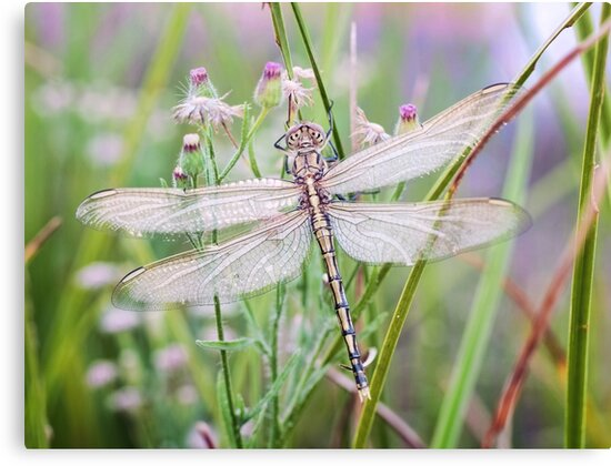Newly emerged dragonfly #2 by clearviewstock