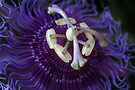 flor de la pasión by Astrid Ewing Photography
