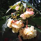 """""""Pink Blush Scentiment"""" Begonia by Pat Yager"""