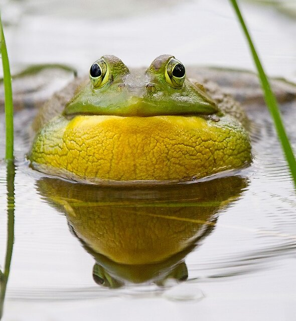 Bullfrog and water vibrations. by Daniel Cadieux