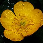 Little Yellow Buttercup by Tori Snow