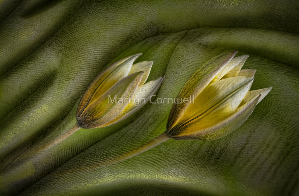 In a Dream - Tulipa Tarda by Marilyn Cornwell
