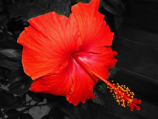 Red Hibiscus by Mistyarts