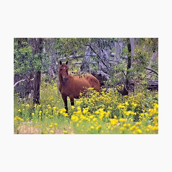 RSPCA Cooma Wild Brumby Fundraiser Photographic Print