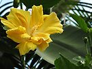 Yellow Hibiscus by Carol Bleasdale