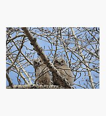Pair of great horned owl chicks Photographic Print
