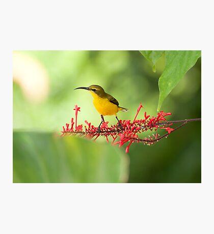 Yellow Bellied Sunbird Photographic Print