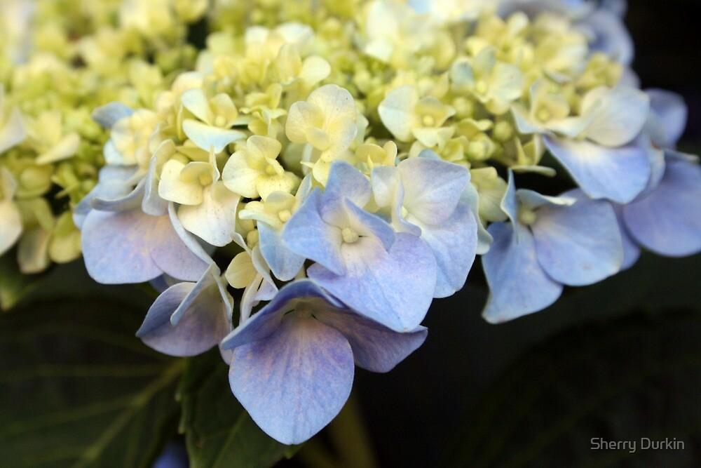 Blue Hydreandra by Sherry Durkin