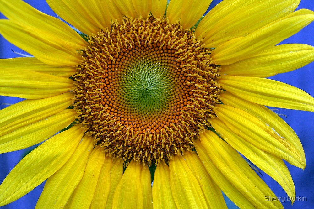 Sunflower in the Garden by Sherry Durkin