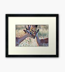JUST A SMALL HUG? - BLACK-FACED IMPALA _Aepyceros melampus petersi Framed Print