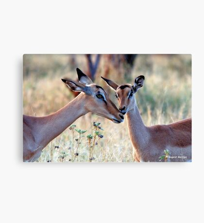 JUST A SMALL HUG? - BLACK-FACED IMPALA _Aepyceros melampus petersi Canvas Print