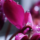 Cyclamen Sparkle by Astrid Ewing Photography