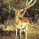 Impala - Kruger National Park, Sth Africa by Bev Pascoe