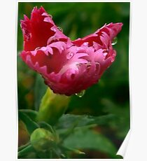 Young Sweet William Poster