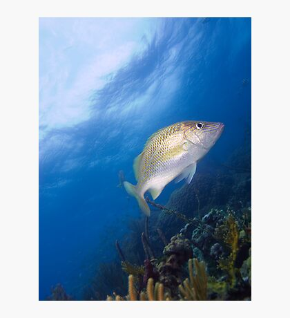 Grunt, Barracuda Reef, Nassau, Bahamas Photographic Print